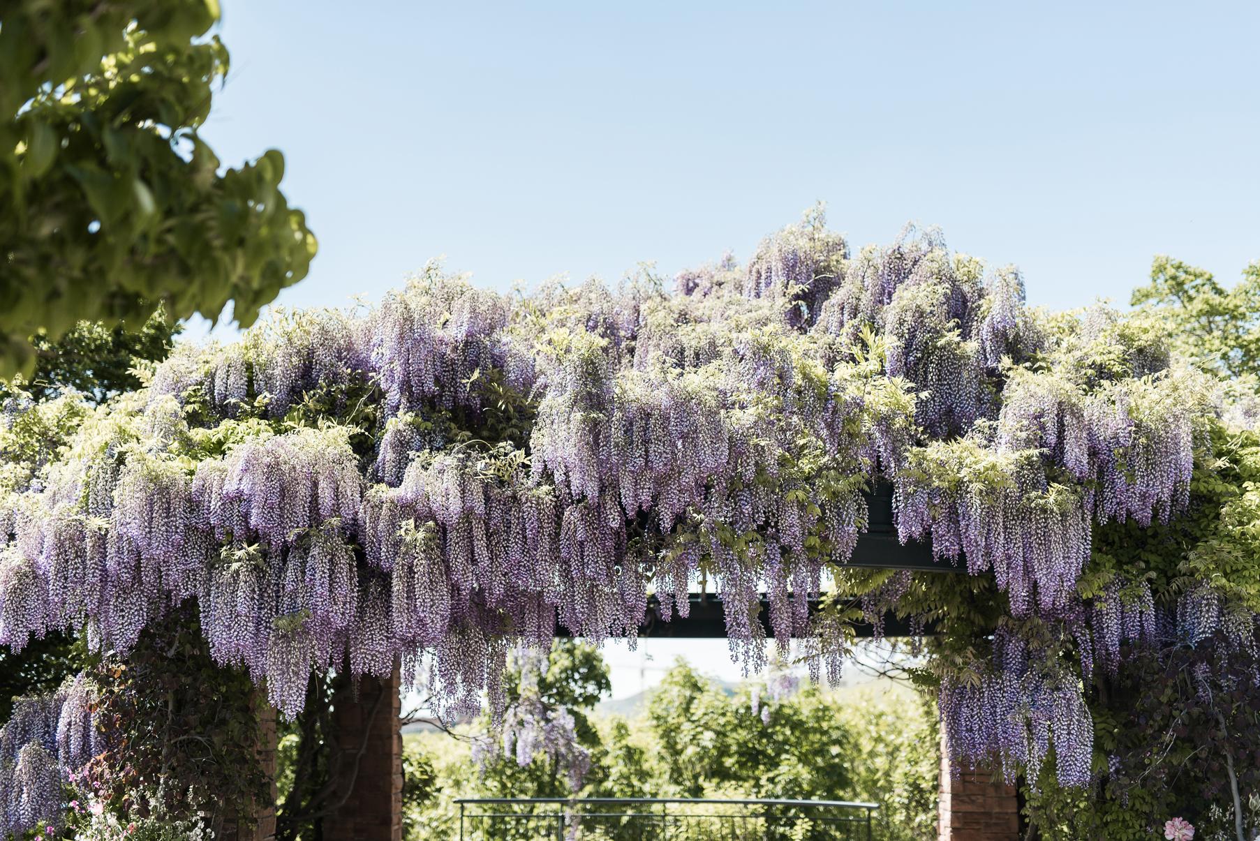 red butte gardens wisteria | Elisha Braithwaite Photography