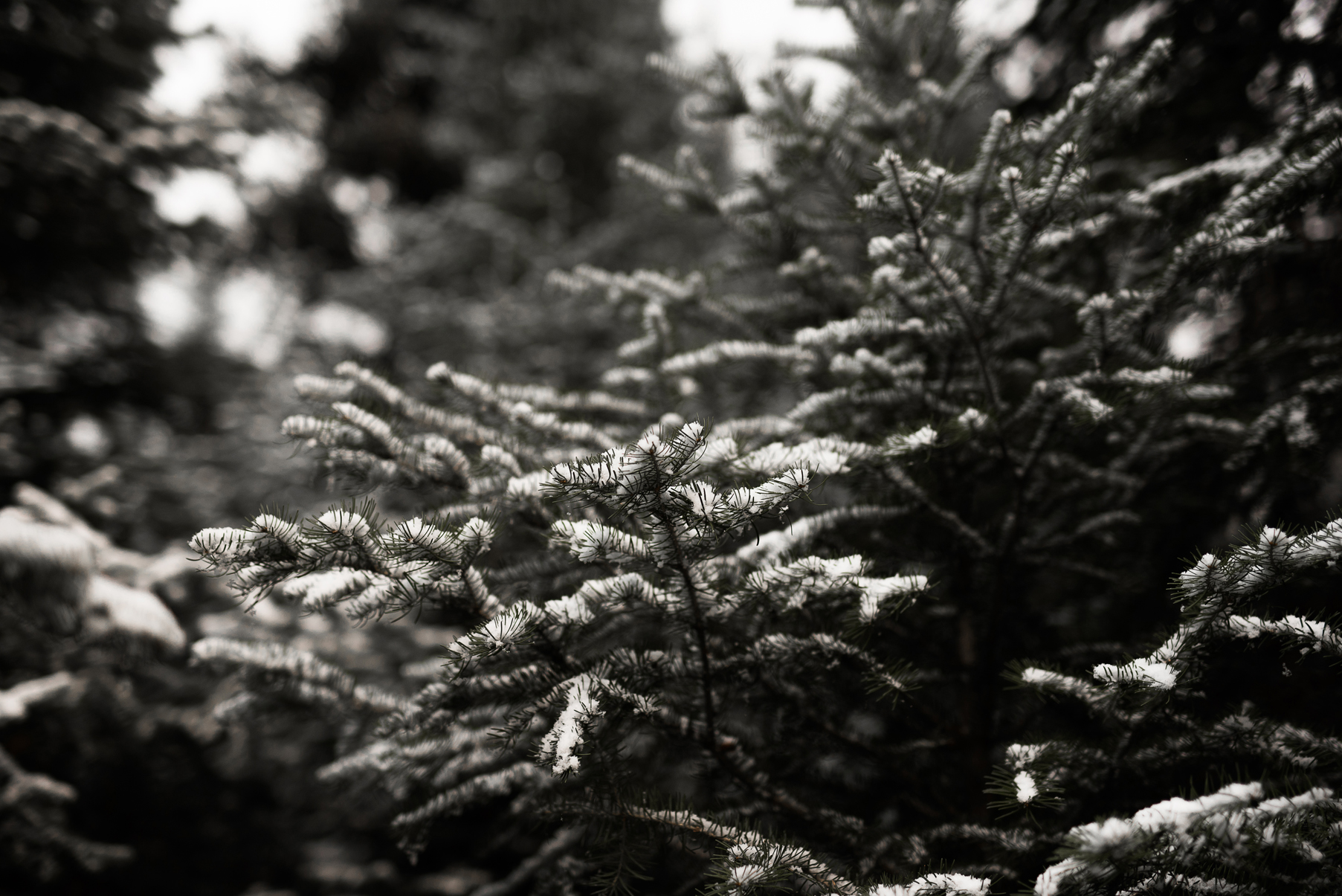 snow covered pine trees near brighton resort